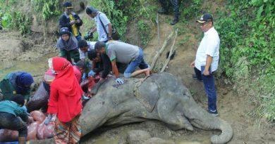Si 'Neneng' Gajah Betina 3 Ton Mati, Akhyar & Pemerintah Berduka