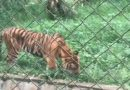 Harimau Viral Kurus-Makan Rumput di Medan Zoo